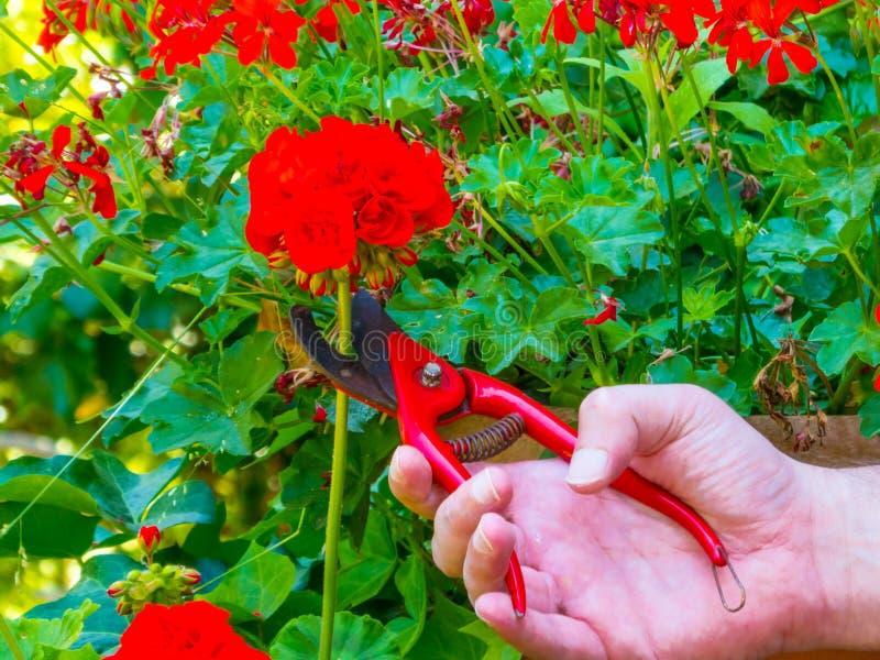 ręki używać w ogródzie strzyżenia obraz royalty free