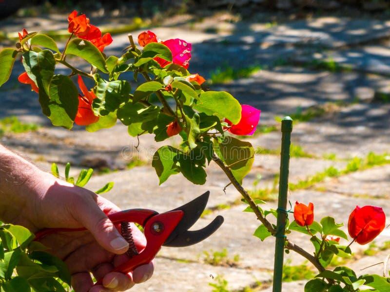ręki używać w ogródzie strzyżenia obrazy royalty free