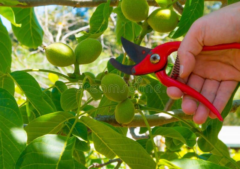 ręki używać w ogródzie strzyżenia zdjęcie royalty free