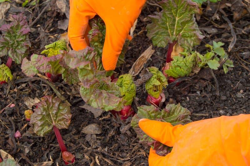 Ręki w pomarańczowych rękawiczkach dba dla młodego rabarbaru w ogródzie, glebowy tło obrazy royalty free