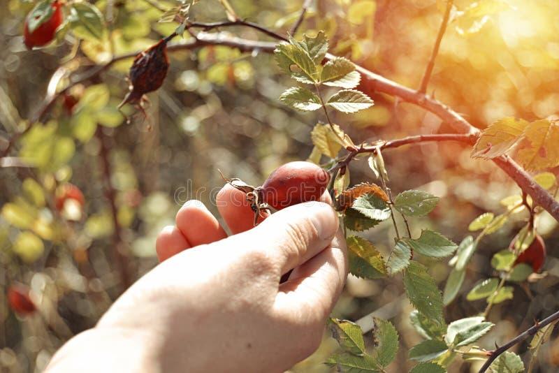 Ręki zgromadzenie sweetbrier, eglantine lub róża obrazy stock