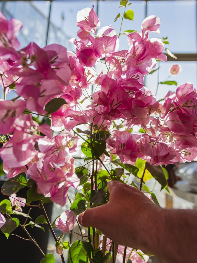 Ręki zrywania roślina z menchiami opuszcza przy zmierzchem obrazy stock