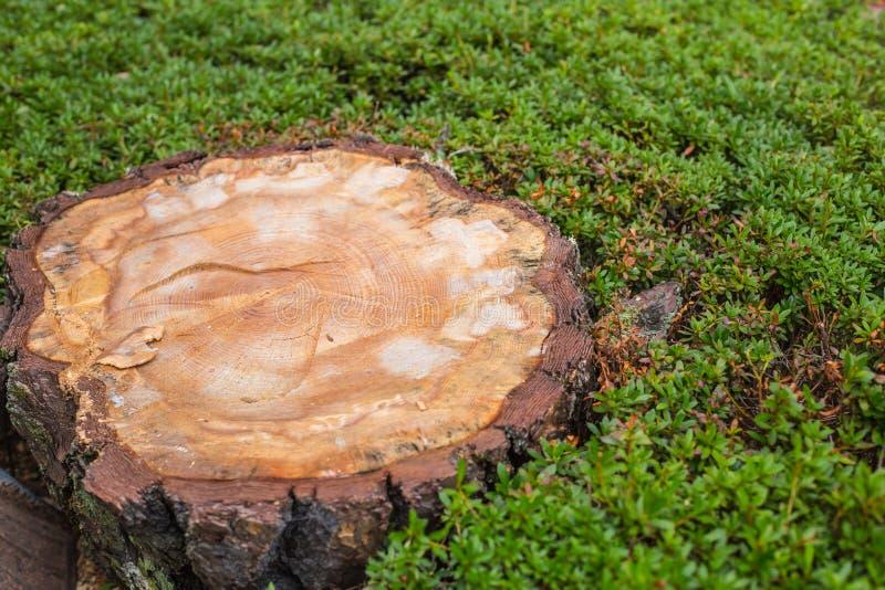 Rżnięty drzewo, drewno cutted, lasowa ingresja obraz royalty free
