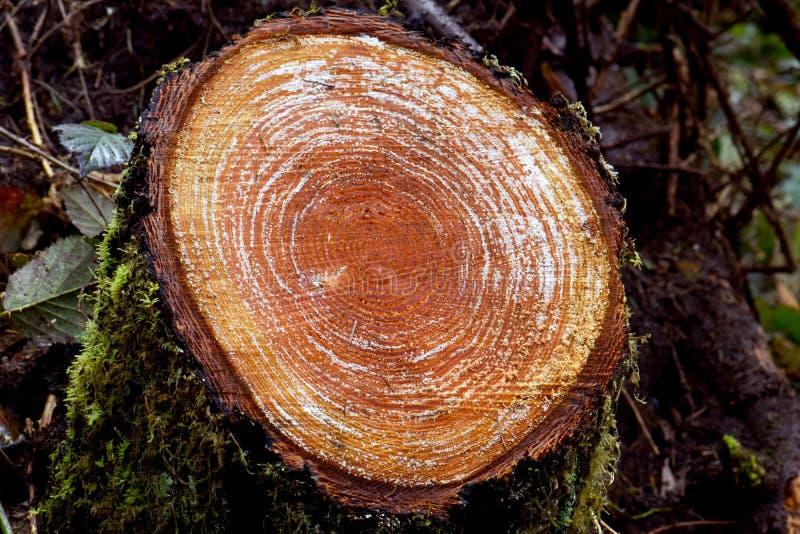 Rżnięty drzewo z aprosza pierścionkami zdjęcia stock