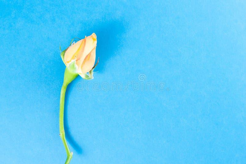 Rżnięty kwiat pomarańcze karzeł wzrastał, w górę błękitnego tła na obrazy stock