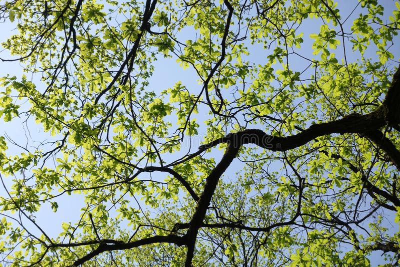 r Η βαλανιδιά άνθισε την άνοιξη Νέα λεπτά φύλλα στο παλαιό δέντρο στοκ εικόνες με δικαίωμα ελεύθερης χρήσης