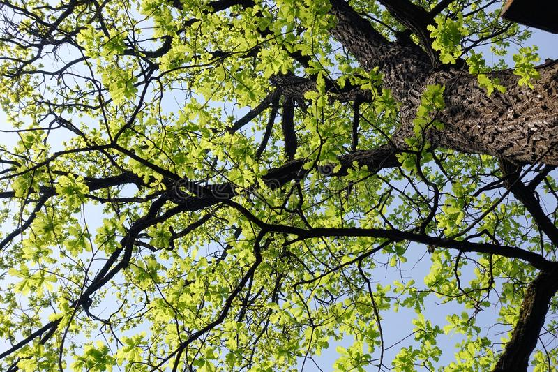 r Η βαλανιδιά άνθισε την άνοιξη Νέα λεπτά φύλλα στο παλαιό δέντρο στοκ εικόνα