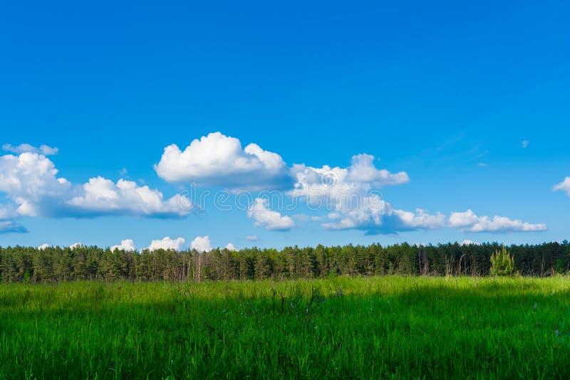 r Τομέας, δάσος και ουρανός r Πράσινη juicy χλόη Κωνοφόρο δάσος στον ορίζοντα Σωρείτης στον ουρανό στοκ φωτογραφία με δικαίωμα ελεύθερης χρήσης