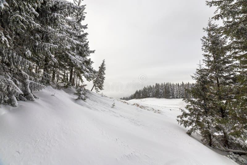 r Высокорослые темные ые-зелен елевые деревья покрытые со снегом на горных пиках и предпосылке облачного неба стоковые фото