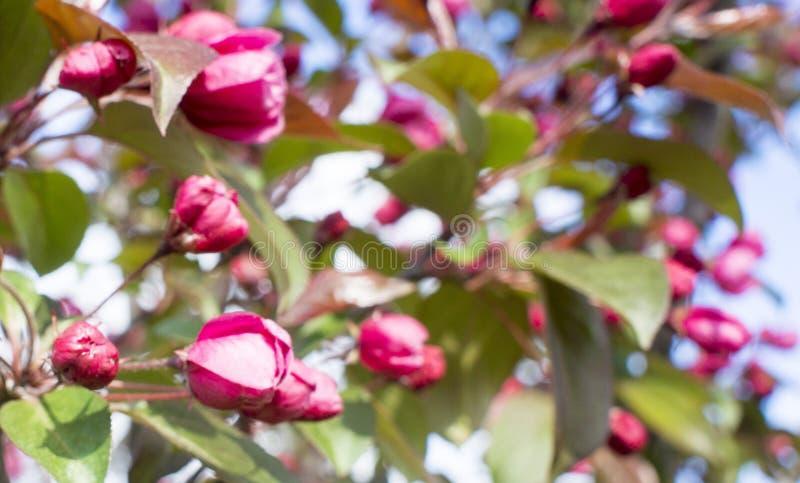 r Зацветать весны Цветение яблони с розовыми цветками стоковые фотографии rf