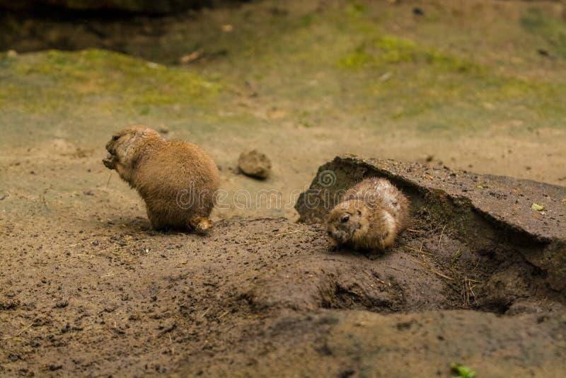 16 05 2019 r Зоопарк Tiagarden Дикие и красные грызуны babak выкапывают песок в поисках еды стоковые изображения rf