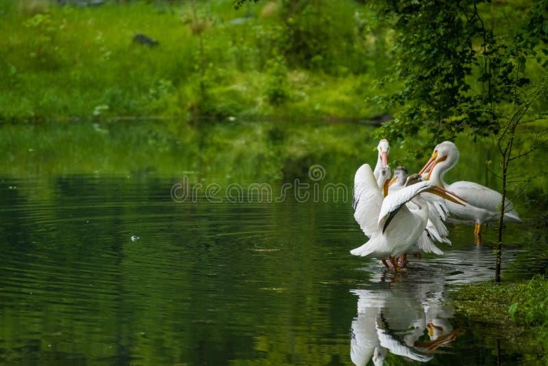 14 05 2019 r Зоопарк Tiagarden Пакет пеликанов сидит около пруда и сушит пер после дождя Серая и розовая большая стоковые фото