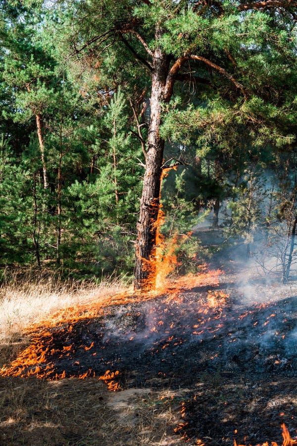 r лесной пожар на заходе солнца, горя сосновый лес в дыме и пламена стоковые изображения rf