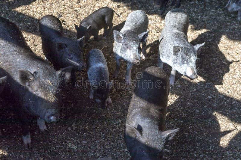 r r опытная молодая свинья ест еду они в ручке стоковая фотография