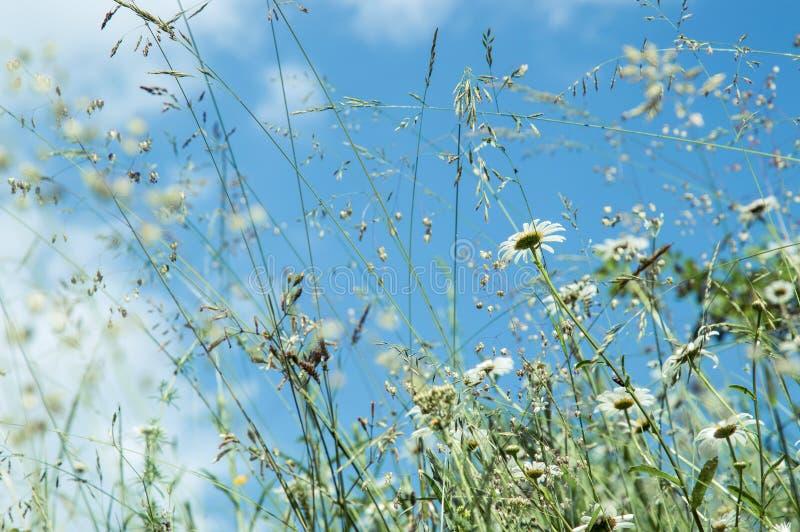 r Поле лета с травами и цветками маргаритки На фоне голубого неба с небольшими белыми облаками r стоковые изображения rf