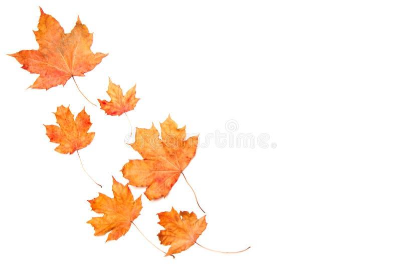 r Рамка сделанная из изолированных кленовых листов осени на белой предпосылке ( стоковые изображения