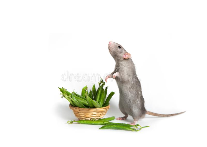 r 一只逗人喜爱的Dumbo鼠在它的在白色被隔绝的背景的后腿站立 篮子用绿豆 2020年的标志 库存照片