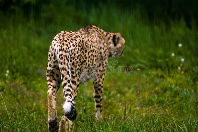 16 05 2019? r 动物园Tiagarden 野生动物和猫 成人豹子在太阳和绿色草甸被加热 库存图片