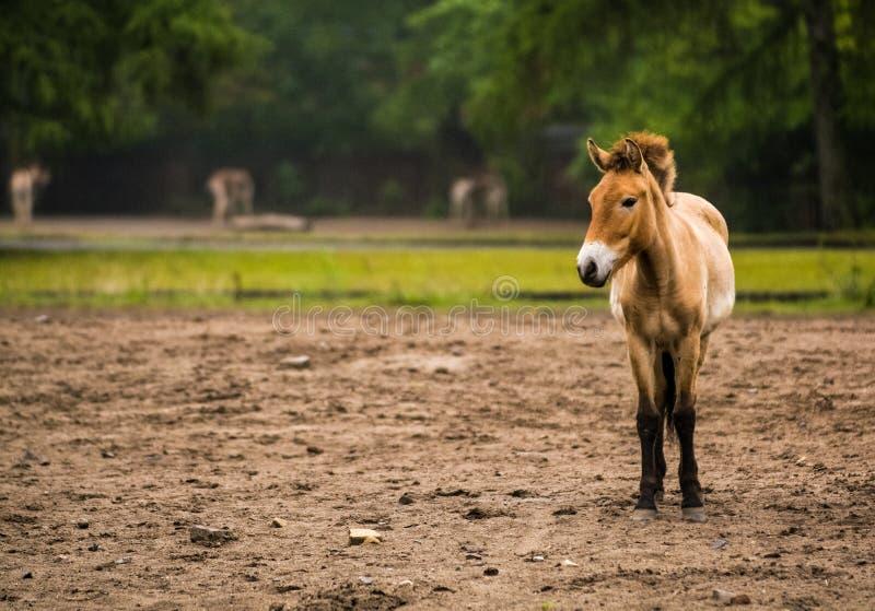 16 05 2019? r 在动物园Tiagarden里良种Przewalskis马步行家庭  吃一棵草 免版税库存照片