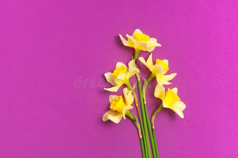 r 在明亮的桃红色紫红色的背景顶视图平的位置的黄色水仙或黄水仙花 r 库存图片