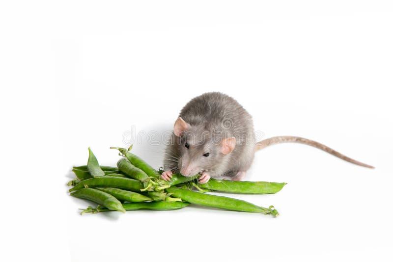 r 在被隔绝的白色背景的一只逗人喜爱的Dumbo鼠吃绿豆 2020年的标志 免版税图库摄影