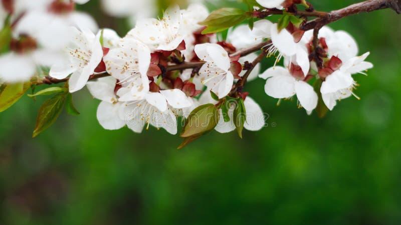 r 开花的杏子宏指令分支在阳光下 库存照片