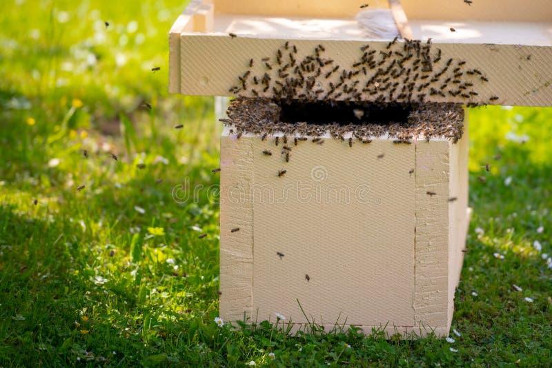 r 收集逃脱的蜂从树群集 蜂房背景 收集的欧洲蜂蜜蜂群  图库摄影