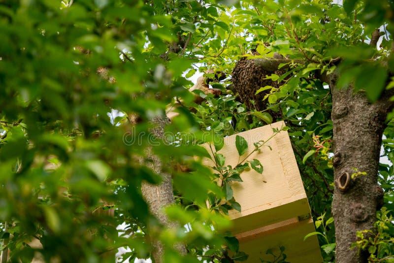 r 收集逃脱的蜂的蜂农从树群集 蜂房背景 免版税库存图片