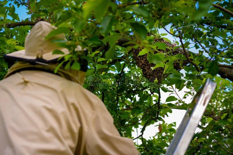r 收集逃脱的蜂的蜂农从树群集 蜂房背景 库存照片