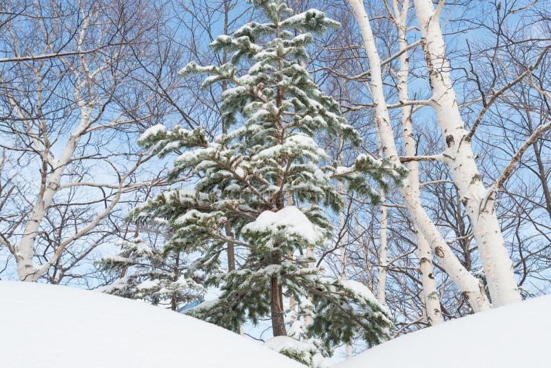 r 杉木在雪下的分支树 免版税图库摄影
