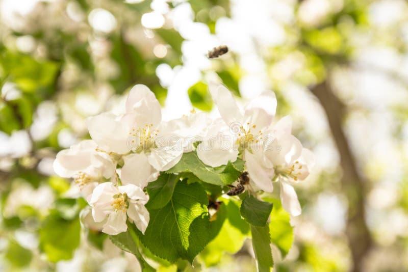 r 樱桃或苹果开花分支  免版税图库摄影