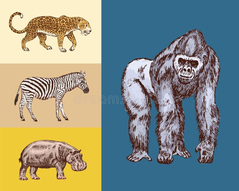 r 河马豹子野生斑马西部大猩猩 被刻记的手拉的葡萄酒老单色徒步旅行队 皇族释放例证