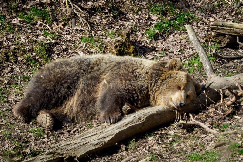 r 熊属类arctos 免版税库存照片