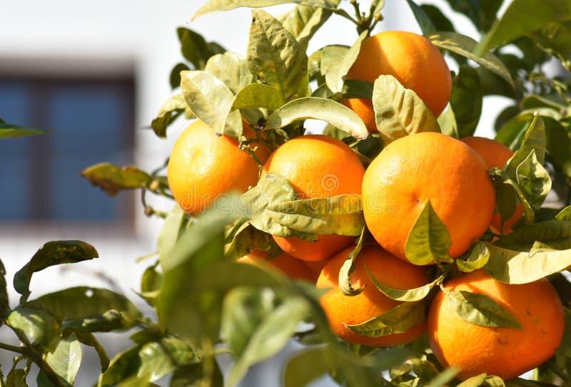 r 生长在灌木的新鲜的成熟桔子 图库摄影