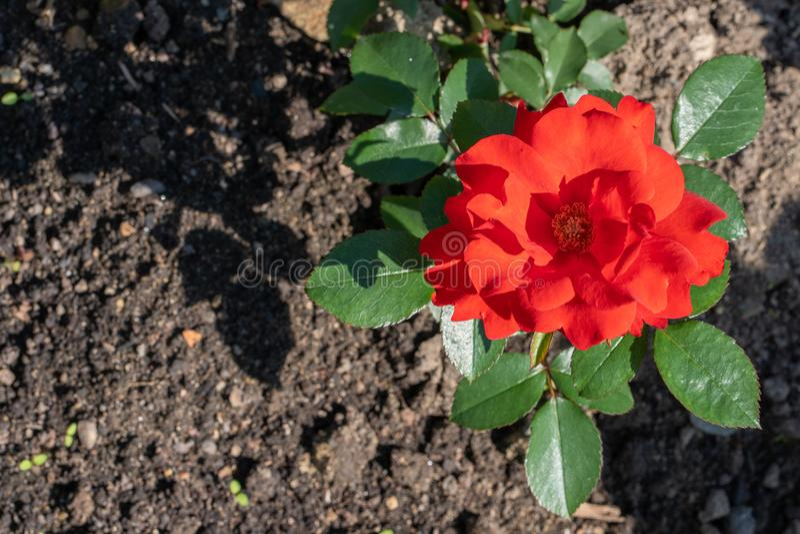 r 红色玫瑰的接近的图象在庭院里 库存图片