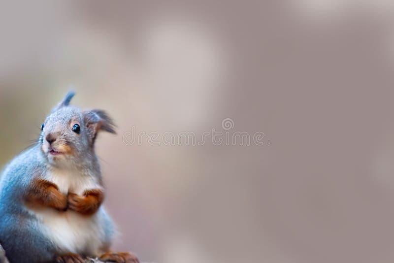 r 美丽的灰鼠关闭和秋天灰色树荫在背景中 图库摄影