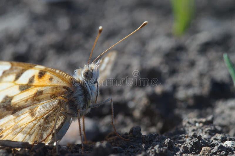 r 蝴蝶nymphelid种类Vanessa cardui 库存照片