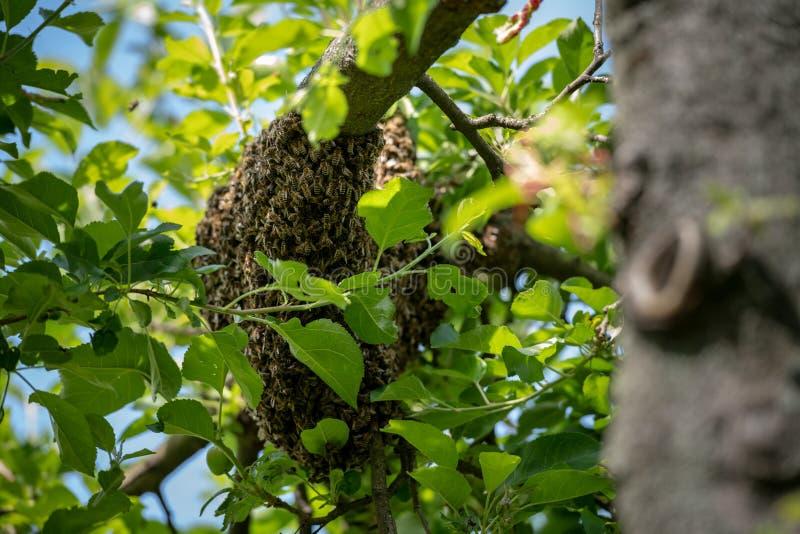 r 逃脱的蜂群集在树的嵌套 蜂房背景 紧贴对树的欧洲蜂蜜蜂群  图库摄影