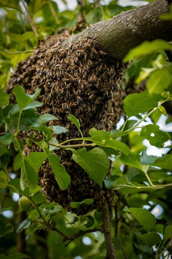 r 逃脱的蜂群集在树的嵌套 蜂房背景 紧贴对树的欧洲蜂蜜蜂群  库存照片