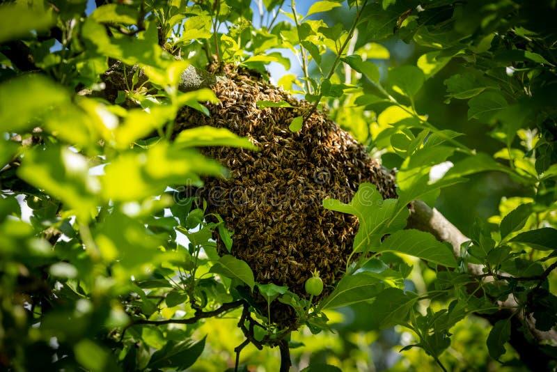 r 逃脱的蜂群集在树的嵌套 蜂房背景 紧贴对树的欧洲蜂蜜蜂群  免版税库存图片