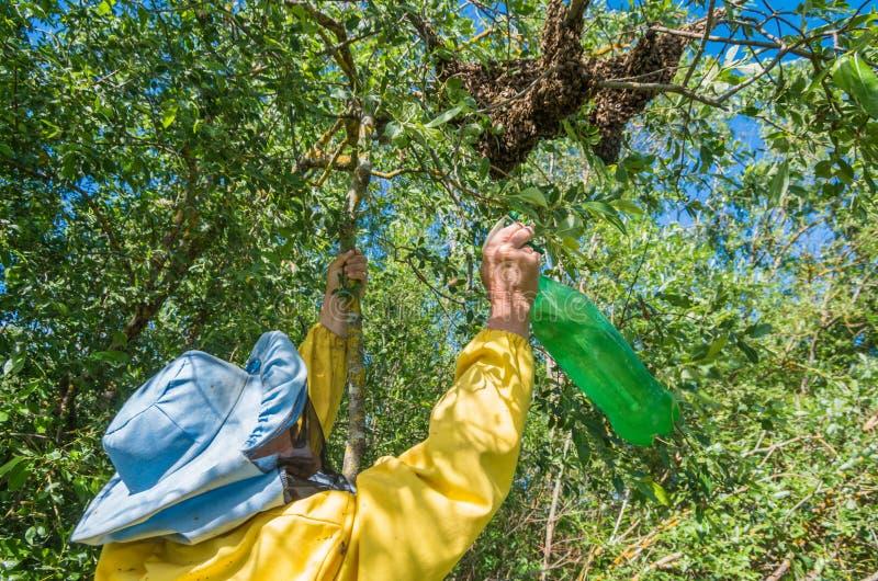 r 逃脱的蜂群集在树的嵌套 库存照片