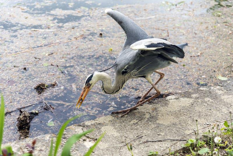 与鱼的伟大蓝色的苍鹭的巢 库存照片