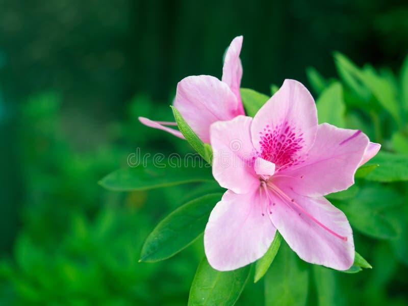 R?d azalea De härliga rosa blommorna blommar i trädgården, med gröna sidor som bakgrunden arkivfoto