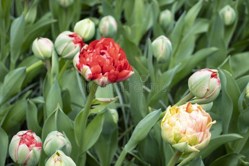 R?d blomma p? f?ltet royaltyfria foton