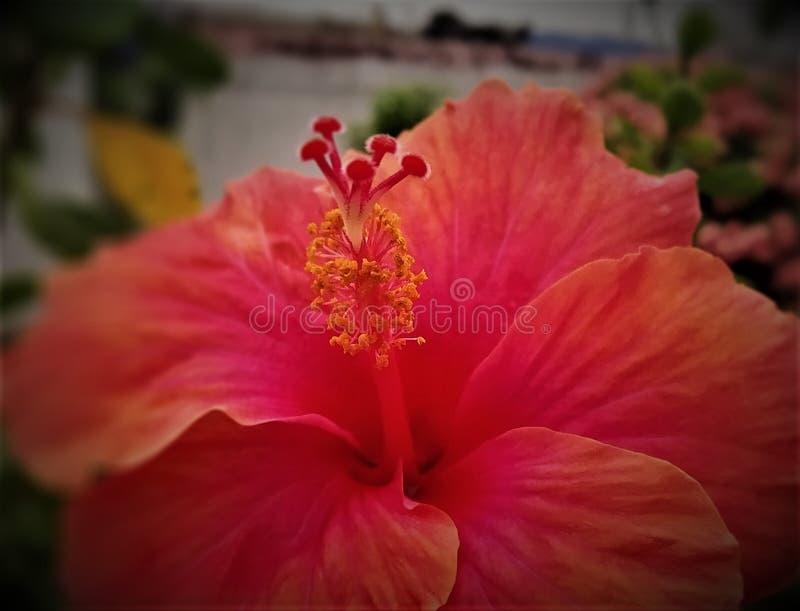 R?d hibiskusblomma i min tr?dg?rd fotografering för bildbyråer