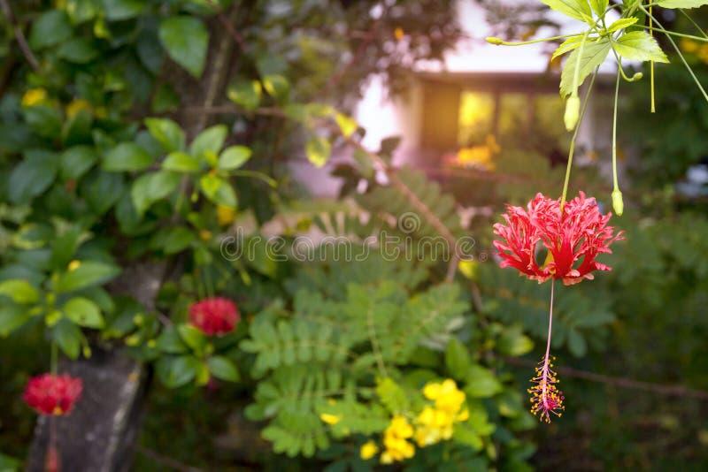R?d hibiskusschizopetalusblomma royaltyfri bild