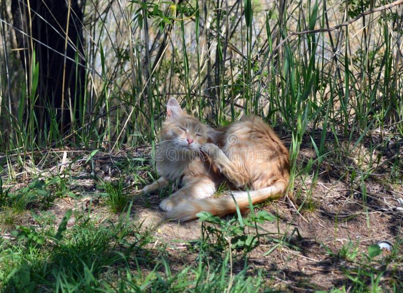 R?d katt som vilar i natur royaltyfri bild
