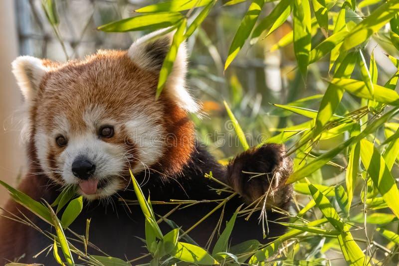 R?d panda royaltyfri bild