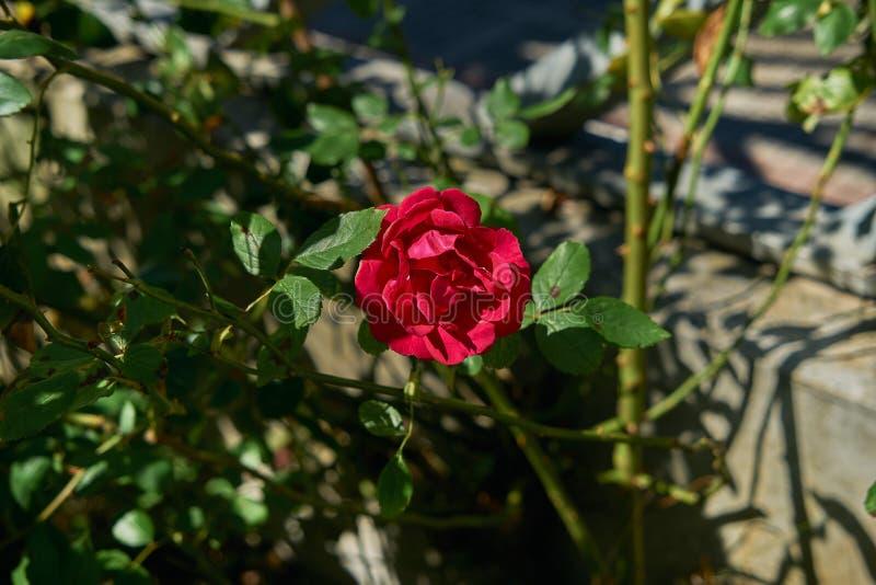 R?d rosa blomma som blommar i rostr?dg?rd p? blommor f?r r?da rosor f?r bakgrund royaltyfri fotografi