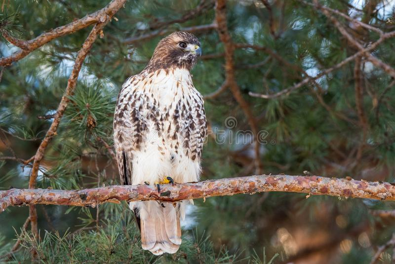 R?d-tailed Hawk Perched i ett s?rjatr?d royaltyfri bild
